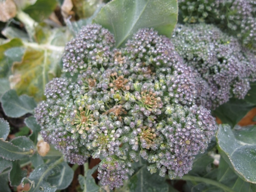 The picture is a little out of focus, but here's an example of our the broccoli heads look.