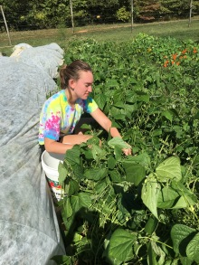 APO volunteer picking beans Sept 22